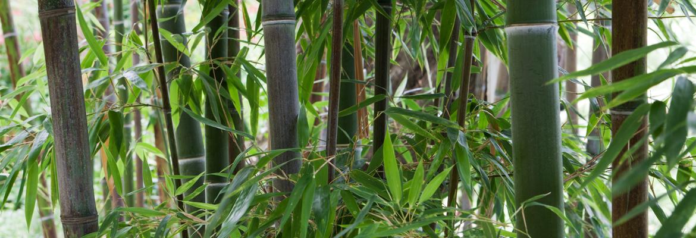 bambous1-citronneraie-menton-mazet