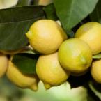 citrons-citronneraie-menton-mazet
