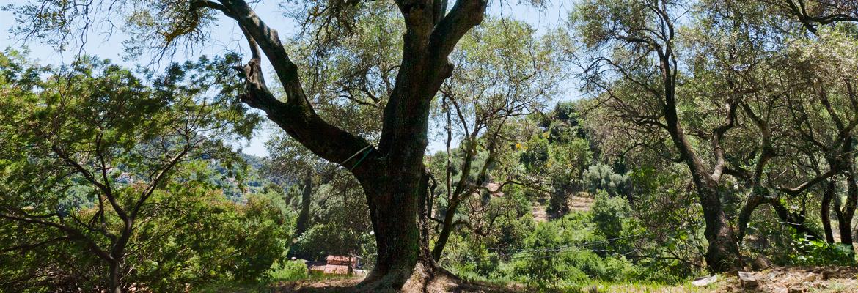 oliviers-citronneraie-menton-mazet