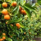 oranges-citronneraie-menton-mazet