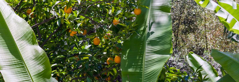 bananiers-citronneraie-menton-mazet