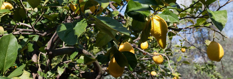 citrons-gros-plan-citronneraie-menton-mazet
