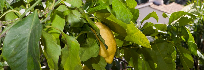 citrons-gros-plan1-citronneraie-menton-mazet