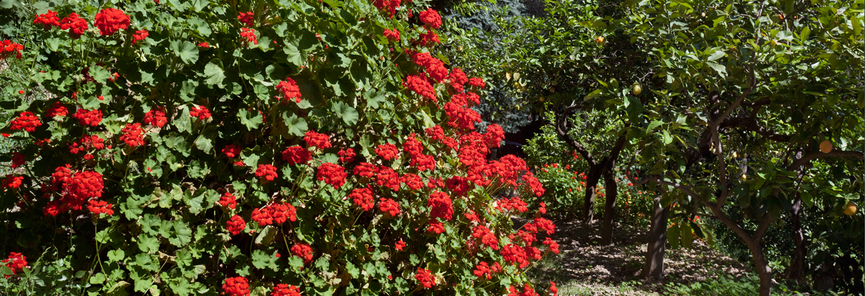 vegetation1-citronneraie-menton-mazet